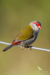 <h5>Red-browed Finch</h5>