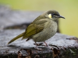 <h5>Yellow-spotted Honeyeater</h5>