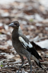 <h5>Australian Magpie</h5>