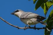 <h5>White-breasted Cuckoo-shrike</h5>