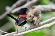 <h5>Red-backed Fairy-wren</h5><p>Malurus melanocephalus</p>