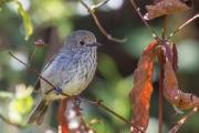 <h5>Speckled Warbler</h5><p>Chthonicola sagittata</p>
