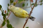 <h5>Yellow Thornbill</h5><p>Acanthiza nana</p>