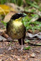 <h5>Yellow-throated Scrubwren</h5><p>Sericornis citreogularis</p>