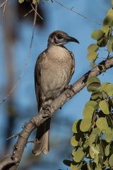 <h5>Little Friarbird</h5><p>Philemon citregularis</p>