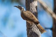 <h5>Noisy Friarbird</h5><p>Philemon corniculatus</p>