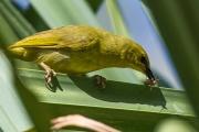 <h5>Yellow Honeyeater</h5><p>Lichenostomus flavus</p>