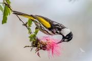 <h5>White-cheeked Honeyeater</h5><p>Phylidonyris niger</p>