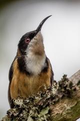 <h5>Eastern Spinebill</h5><p>Acanthorhynchus tenuirostris</p>