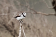 <h5>White-fronted Chat</h5><p>Epthianura albifrons</p>