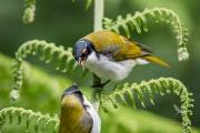 <h5>White-naped Honeyeaters</h5><p>Melithreptus lunatus</p>