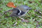 <h5>Grey-headed Robin</h5><p>Hetermoyias cinereifrons</p>