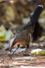 <h5>Grey-crowned Babbler</h5><p>Pomatostomus temporalis</p>