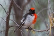 <h5>Red-capped Robin</h5><p>Petroica goodenovii</p>