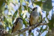 <h5>Buff-sided Robin</h5><p>Poecilodryas cerviniventris</p>