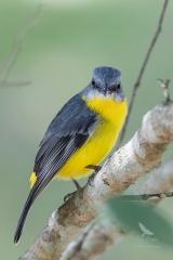 <h5>Eastern Yellow Robin</h5><p>Eopsaltria australis</p>