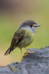 <h5>Pale-yellow Robin</h5><p>Tregellasia capito</p>