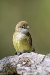 <h5>Lemon-bellied Flycatcher</h5><p>Microeca flavigaster</p>