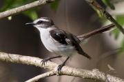 <h5>White-browed Robin</h5><p>Poecilodryas superciliosa</p>