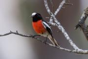 <h5>Scarlet Robin</h5><p>Petroica boodang</p>