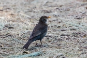 <h5>Common Blackbird</h5><p>Turdus merula</p>