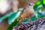 <h5>Little Shrike-thrush</h5><p>Colluricincla megarhyncha</p>