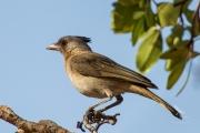 <h5>Crested Bellbird</h5><p>Oreoica gutturalis</p>