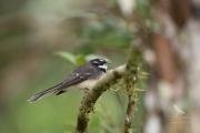 <h5>Grey Fantail</h5><p>Rhipidura albiscapa</p>
