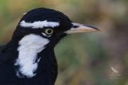 <h5>Magpie-lark</h5><p>Grallina cyanoleuca</p>