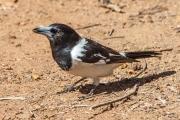 <h5>Pied Butcherbird</h5><p>Cracticus nigrogularis</p>