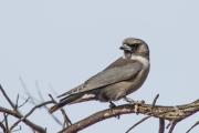<h5>Masked Woodswallow</h5><p>Artamus personatus</p>