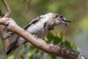 <h5>Grey Butcherbird</h5><p>Cracticus torquatus</p>
