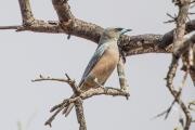 <h5>White-browed Woodswallow</h5><p>Artamus superciliosus</p>