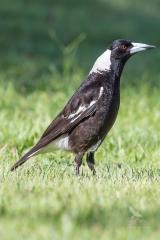 <h5>Australian Magpie</h5><p>Cracticus tibicen</p>