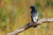 <h5>Black-faced Cuckoo-shrike</h5><p>Coracina novaehollandiae</p>