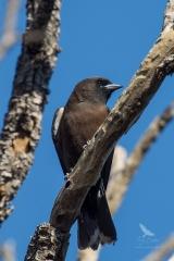 <h5>Dusky Woodswallow</h5><p>Artamus cyanopterus</p>