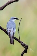 <h5>White-bellied Cuckoo-shrike</h5><p>Coracina papuensis</p>