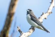 <h5>Black-faced Woodswallow</h5><p>Artamus cinereus</p>