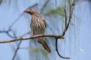 <h5>Australasian Figbird</h5><p>Sphecotheres vieilloti</p>