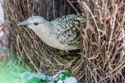<h5>Great Bowerbird</h5><p>Ptilonorhynchus nuchalis</p>
