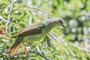 <h5>Satin Bowerbird</h5><p>Ptilonorhynchus violaceus</p>