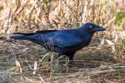 <h5>Australian Raven</h5><p>Corvus coronoides</p>