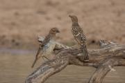 <h5>Spotted Bowerbird</h5><p>Ptilonorhynchus maculatus</p>