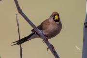 <h5>Masked Finch</h5><p>Poephila personata</p>