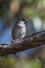 <h5>Plum-headed Finch</h5><p>Neochmia modesta</p>