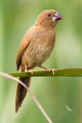 <h5>Crimson Finch</h5><p>Juvenile - Neochmia phaeton</p>