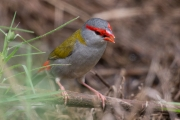 <h5>Red-browed Finch</h5><p>Neochmia temporalis</p>