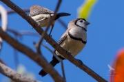 <h5>Double-barred Finch</h5><p>Taeniopygia bichenovii</p>