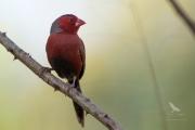 <h5>Crimson Finch</h5><p>Neochmia phaeton</p>
