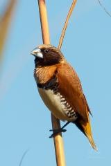 <h5>Chestnut-breasted Mannikin</h5><p>Lonchura castaneothorax</p>